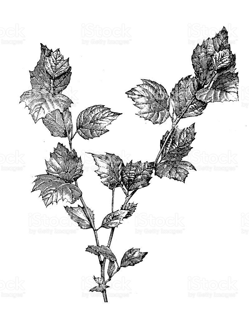 Antique Illustration Of Platanus Occidentalis stock vector art.