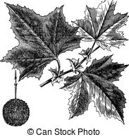 Sycamore Clip Art and Stock Illustrations. 474 Sycamore EPS.