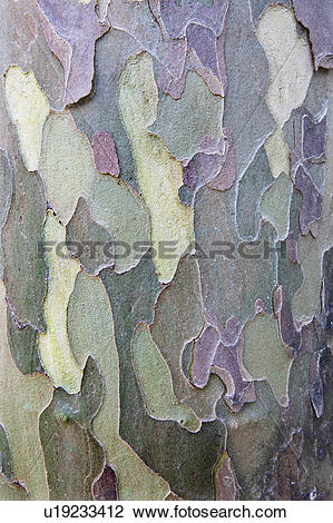 Stock Photo of Close up of American Sycamore bark (Platanus.