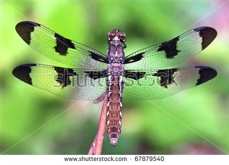 Female Common Whitetail Dragonfly (Libellula Lydia). Stock Photo.