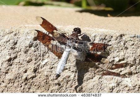 Dragonfly Reed Stock Photos, Royalty.