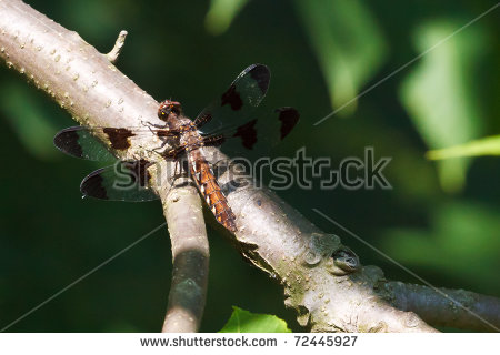 Common Whitetail Dragonfly Stock Images, Royalty.