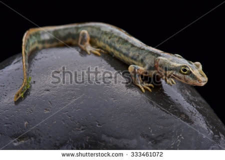 Fish Scaled Gecko Geckolepis Maculata Stock Photo 131291204.