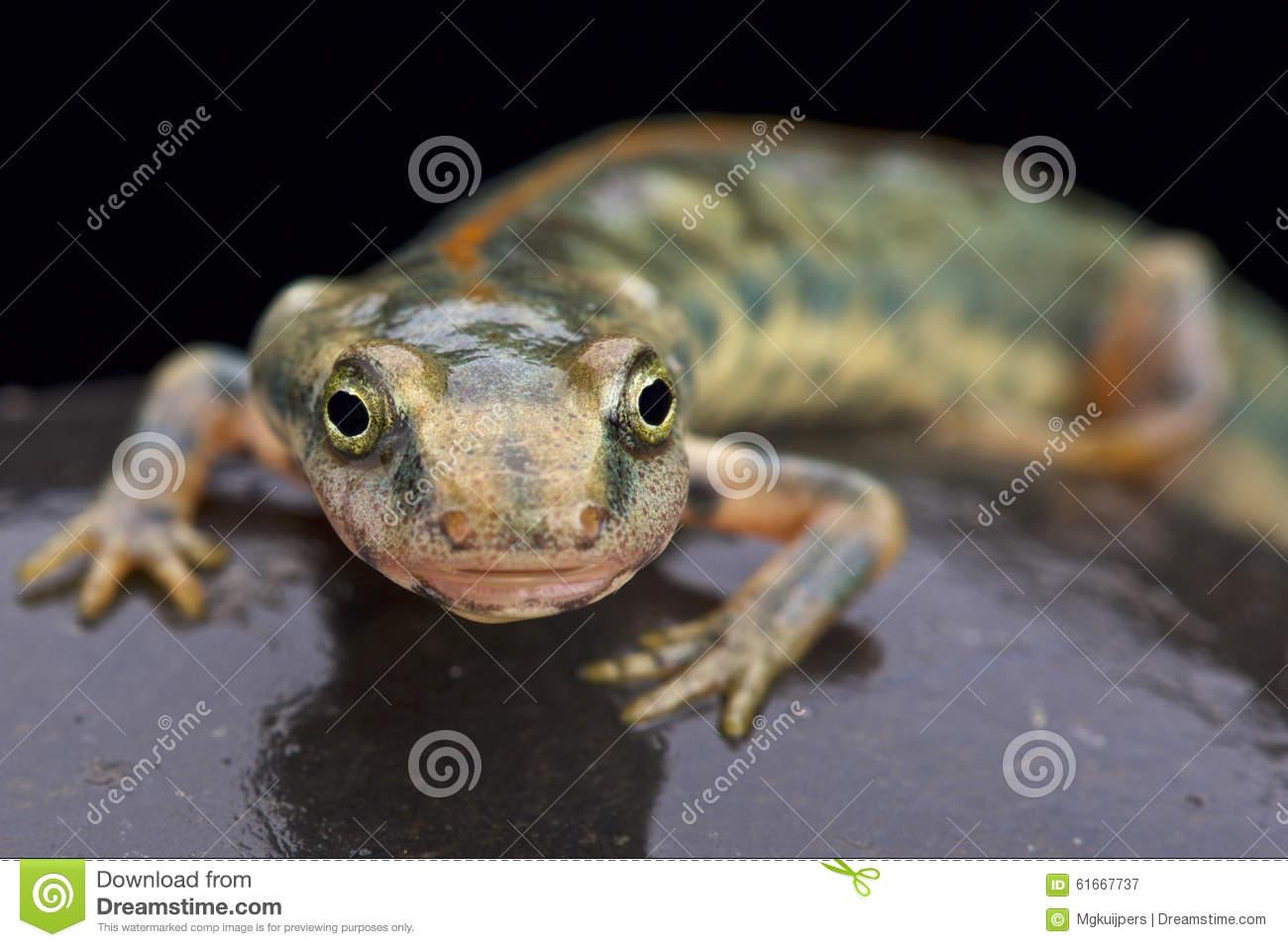 Sardinian Mountain Newt (Euproctus Platycephalus) Stock Photo.