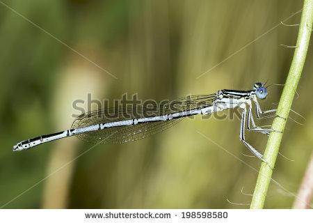Platycnemididae Stock Photos, Royalty.