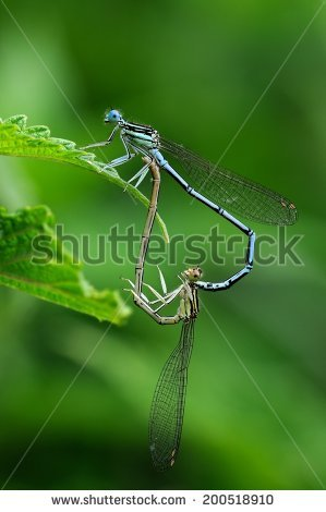 Platycnemis Pennipes Stock Photos, Images, & Pictures.