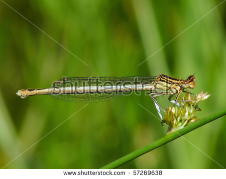 Blue Featherleg Platycnemis Pennipes Stock Photos, Images.