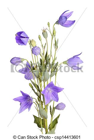 Stock Photography of Flowers, buds and leaves of balloon flower on.