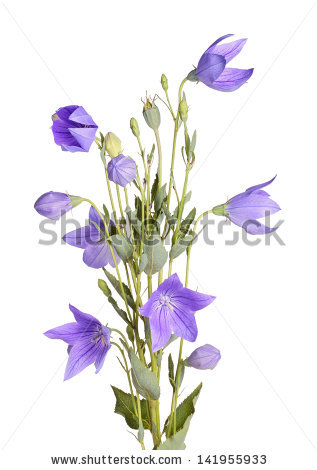 Balloon Flower Stock Images, Royalty.