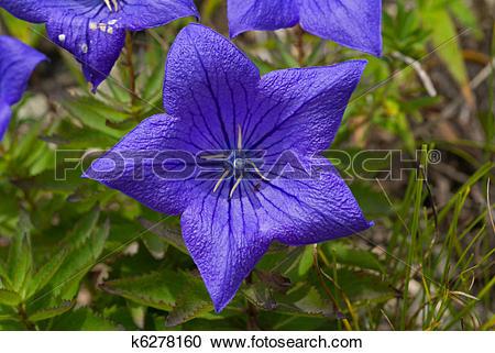 Stock Photography of Blue Flowers (Platycodon grandiflorus) 13.