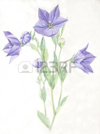 Chinese Bellflower Images & Stock Pictures. Royalty Free Chinese.