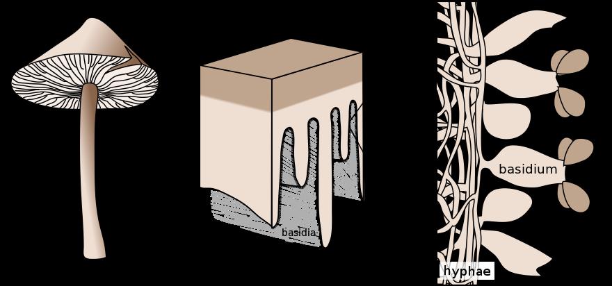 Stopkovýtrusné houby.
