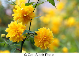 Stock Images of Kerria japonica Pleniflora.