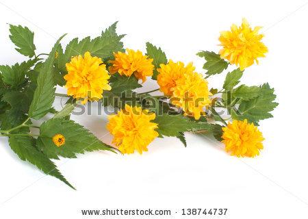 Kerria Japonica Pleniflora Stock Photos, Images, & Pictures.