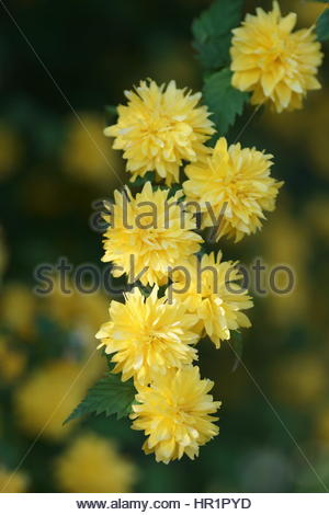Kerria Japonica Pleniflora Stock Photo, Royalty Free Image.