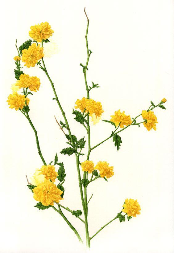 Kerria japonica 'Pleniflora.