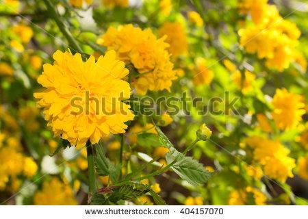 Pleniflora Stock Photos, Royalty.