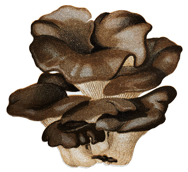 Oyster Mushroom Drawing Clip Art, Vector Images & Illustrations.
