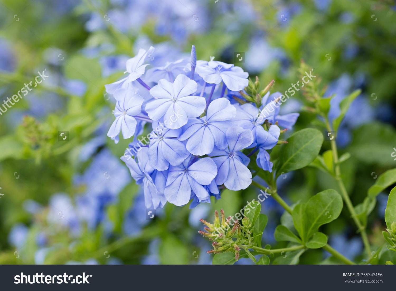 Close Up Blue Color Plumbago Or Plumbaginaceae Flower In Garden.