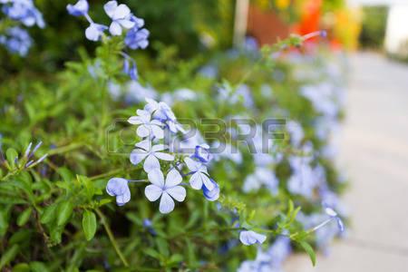 Plumbaginaceae Stock Photos, Pictures, Royalty Free Plumbaginaceae.