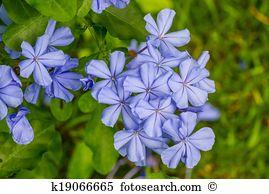 Plumbaginaceae Images and Stock Photos. 48 plumbaginaceae.