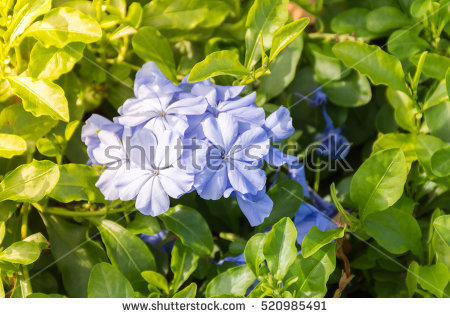 Plumbaginaceae Stock Photos, Royalty.