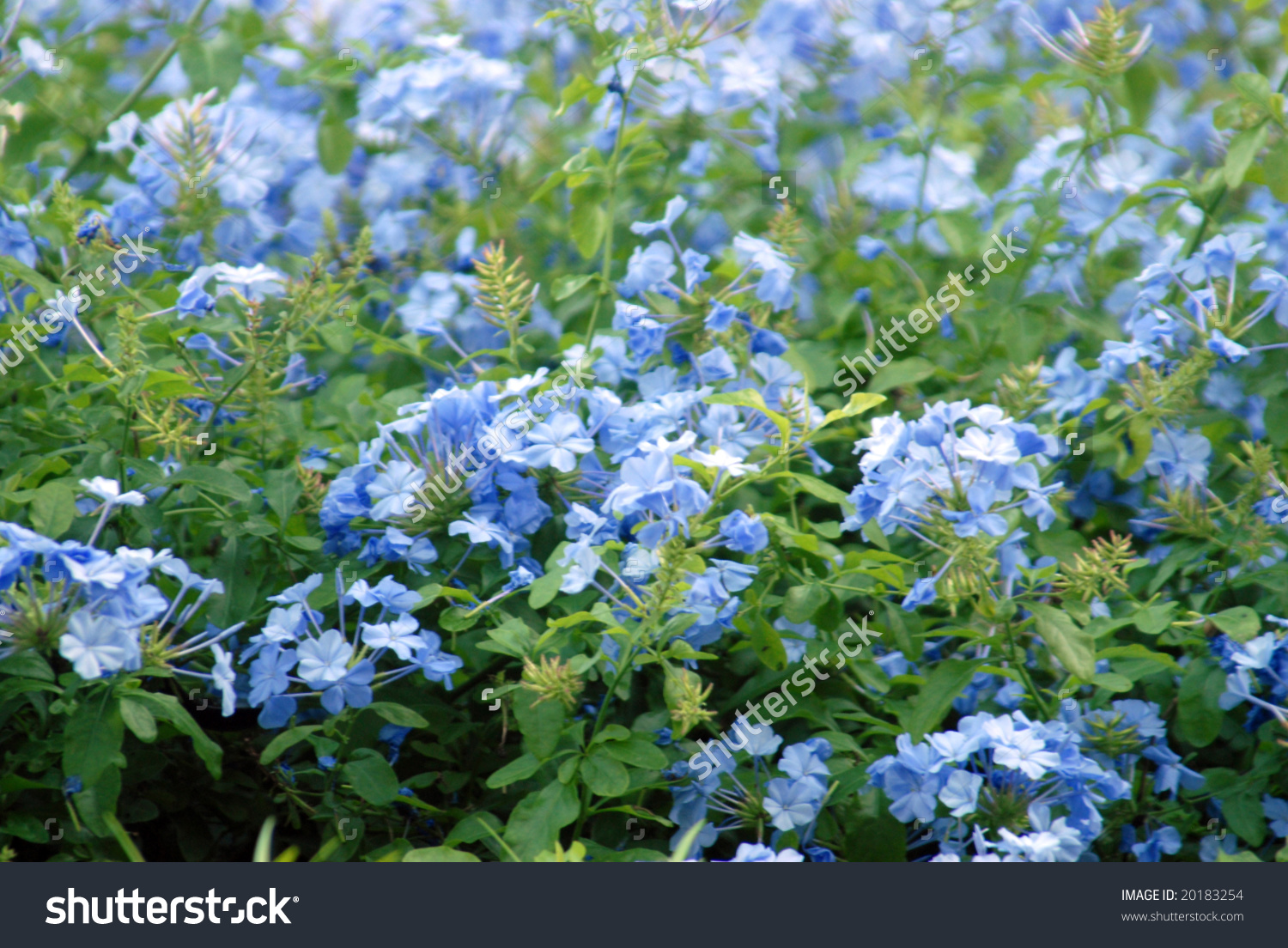 Closeup Plan Plumbago Auriculata Widely Known Stock Photo 20183254.
