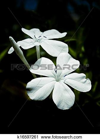 Stock Photography of Flowers of Plumbago auriculata, leadwort.