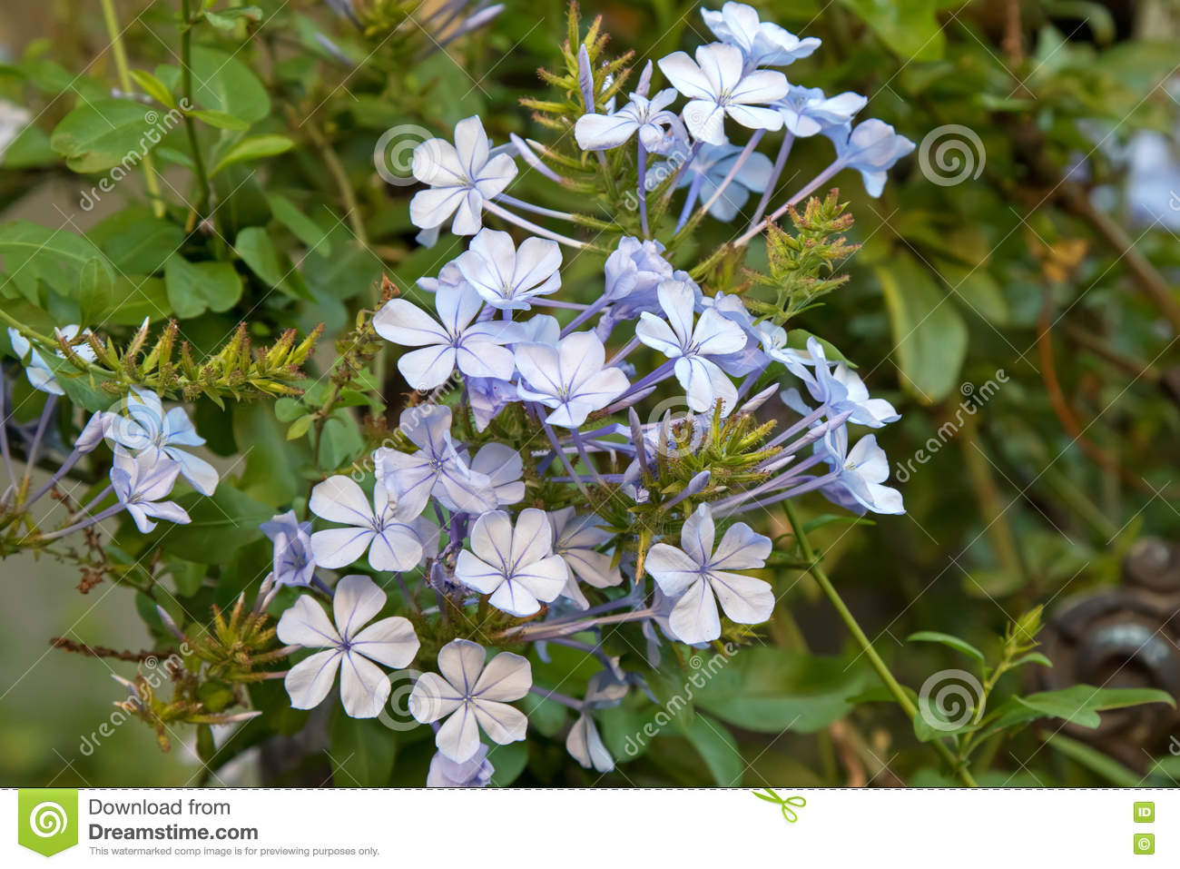 Plumbago Auriculata Flowers In Light Blue Purple Shade Stock Photo.