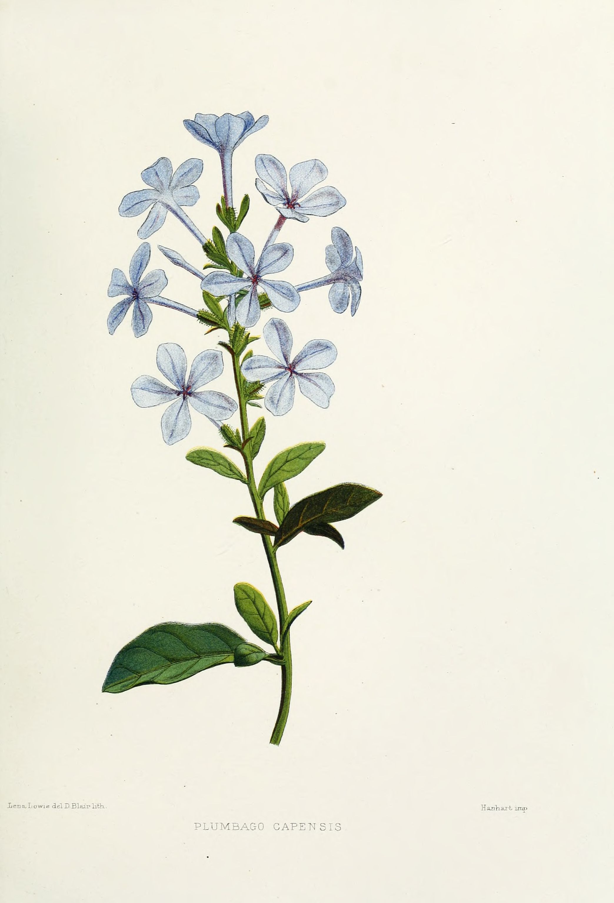 1000+ images about Plumbago on Pinterest.
