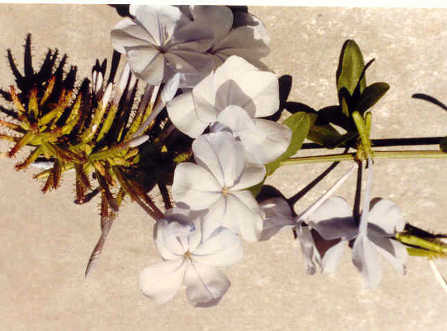 Plumbago capensis Thunb.