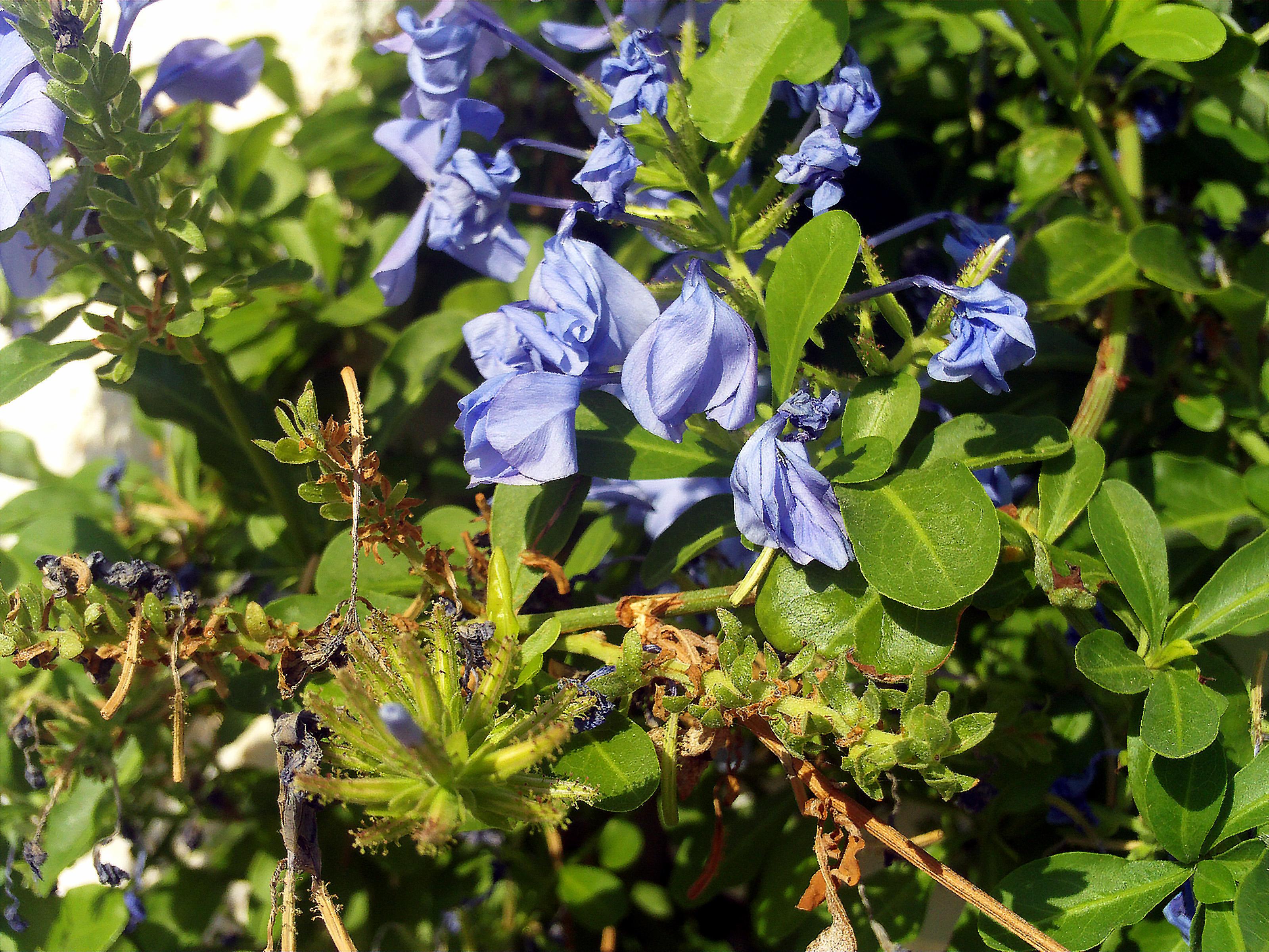 File:Plumbago auriculata Plant TorreLaMata.jpg.