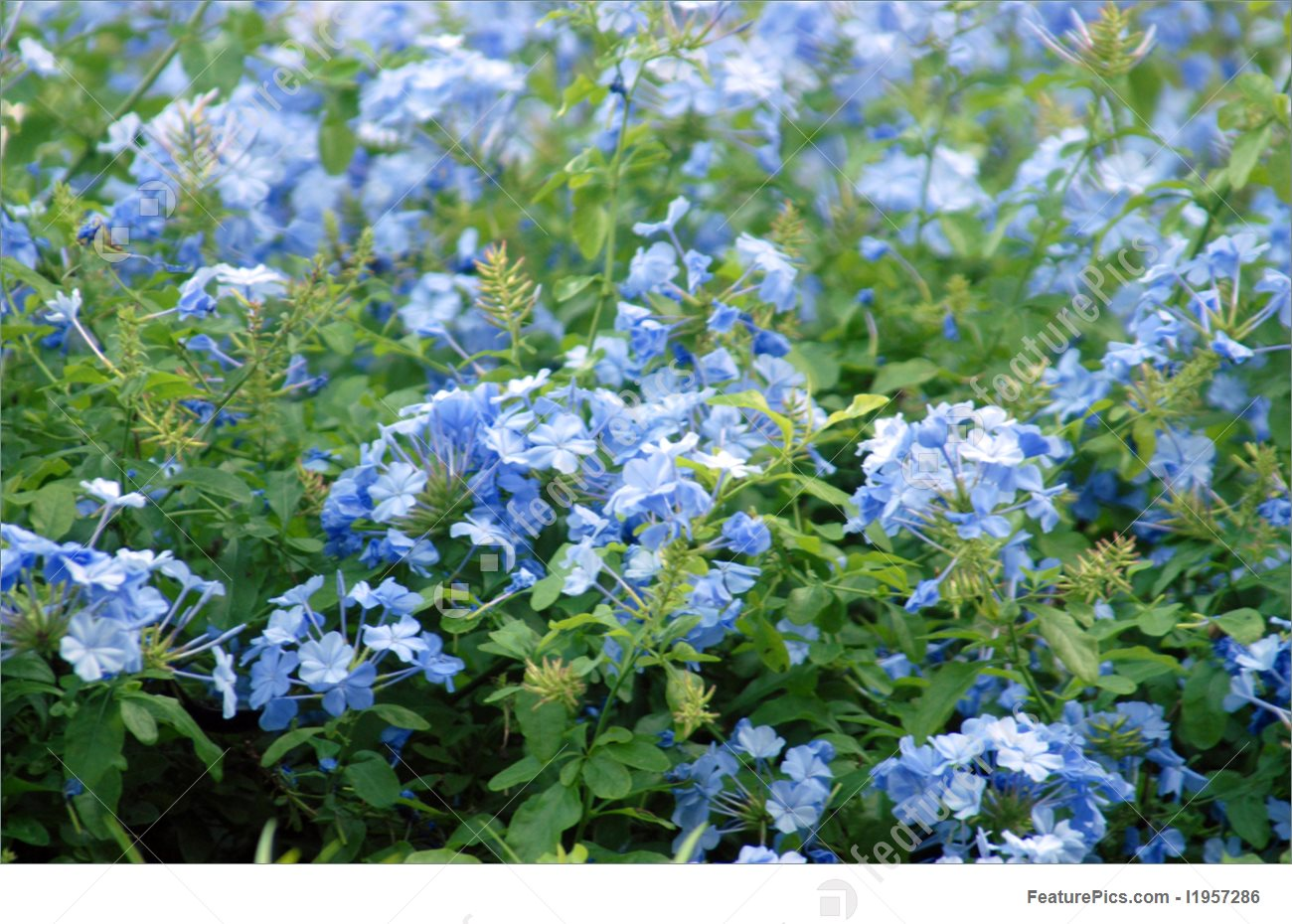 Flowers: Plumbago Capensis.