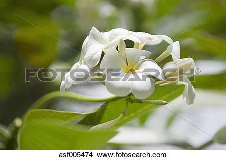 Stock Photo of Thailand, Koh Phangan, Plumeria alba blossom.