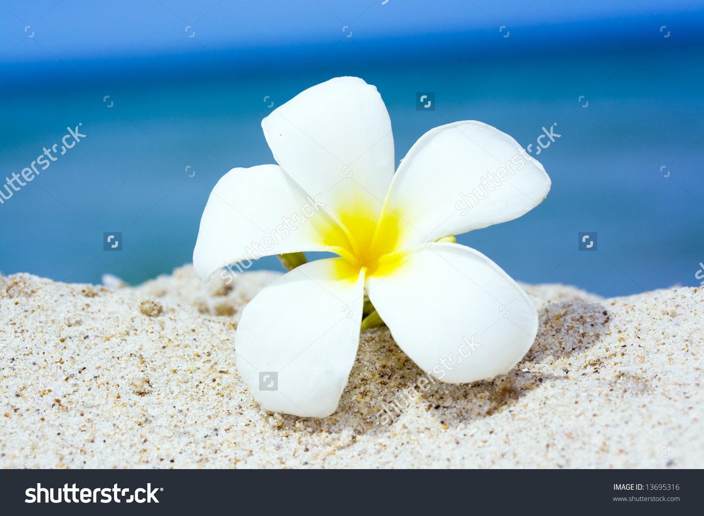 Tropical Flower Plumeria Alba White Frangipani Stock Photo.