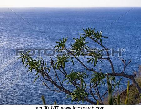 Picture of Caribbean, St. Lucia, Blooming Plumeria alba amf001897.