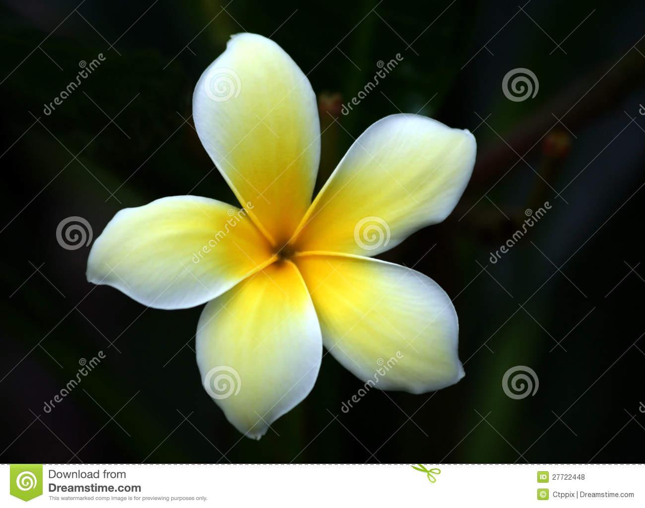 Plumeria Alba Flower Close.