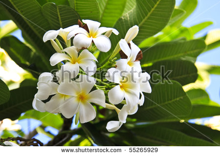 Plumeria Alba Stock Images, Royalty.