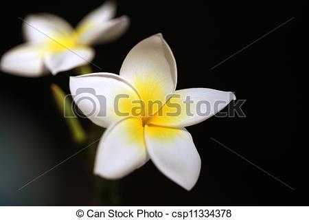 Picture of Tropical flower Plumeria alba (White Frangipani.