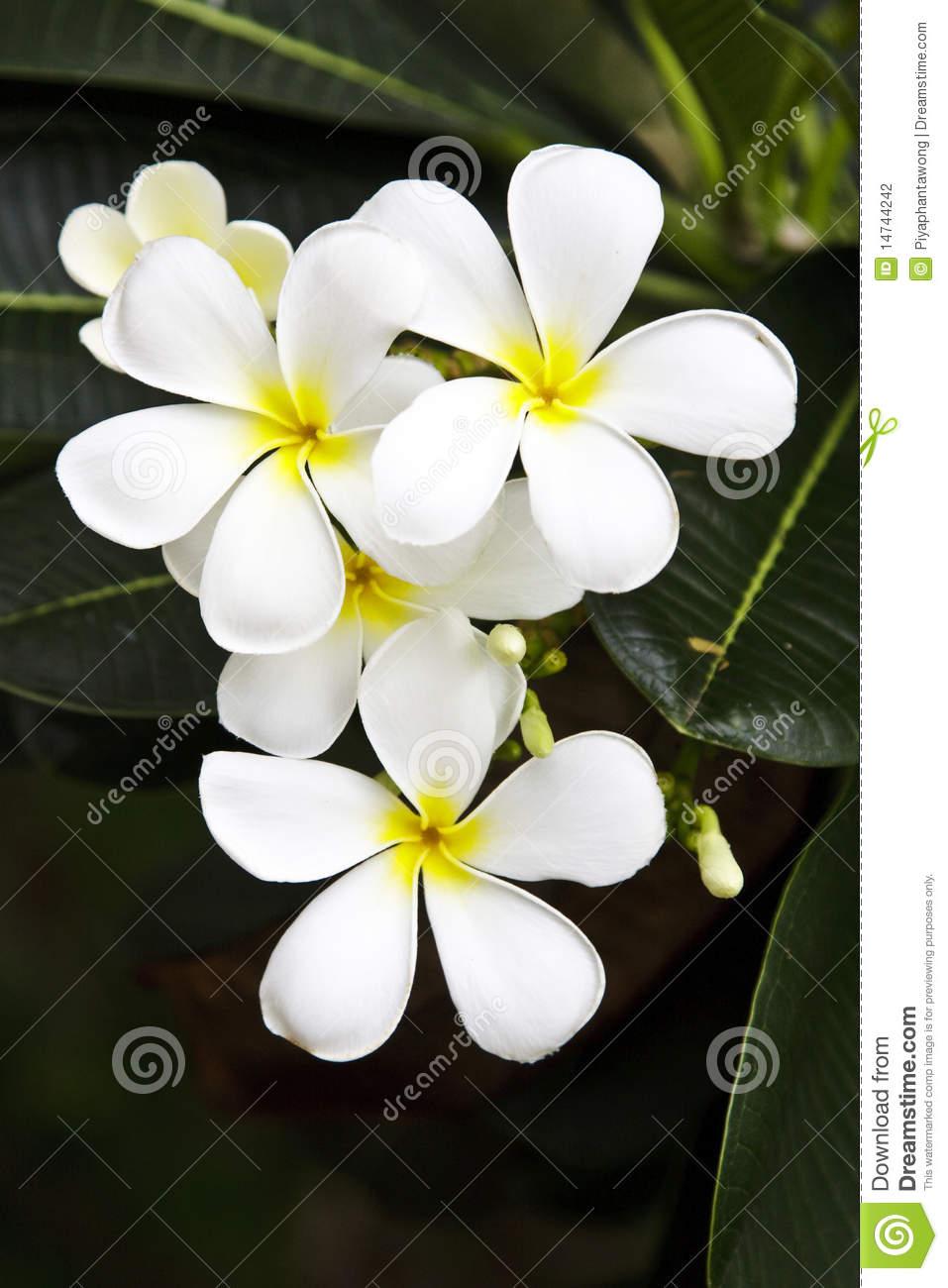 Plumeria Alba Flowers Stock Photography.