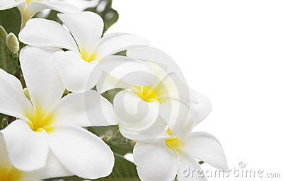 Plumeria Alba Flowers Stock Photos, Images, & Pictures.