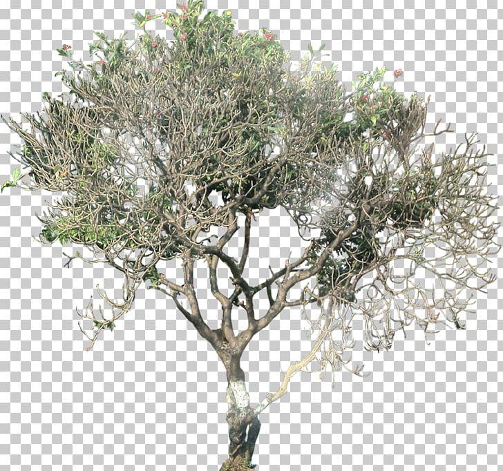 Tree Plant Plumeria Alba Deciduous PNG, Clipart, Branch.