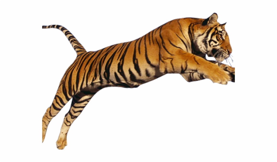 Tiger Png Transparent Images.