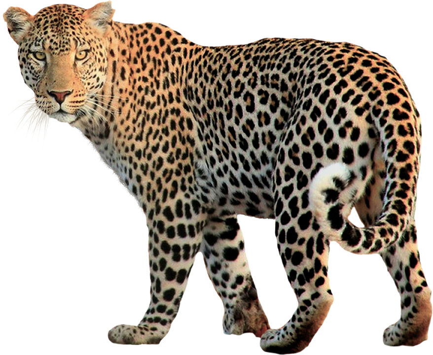 Walking Jaguar Animal Looking Back PNG Transparent Image.