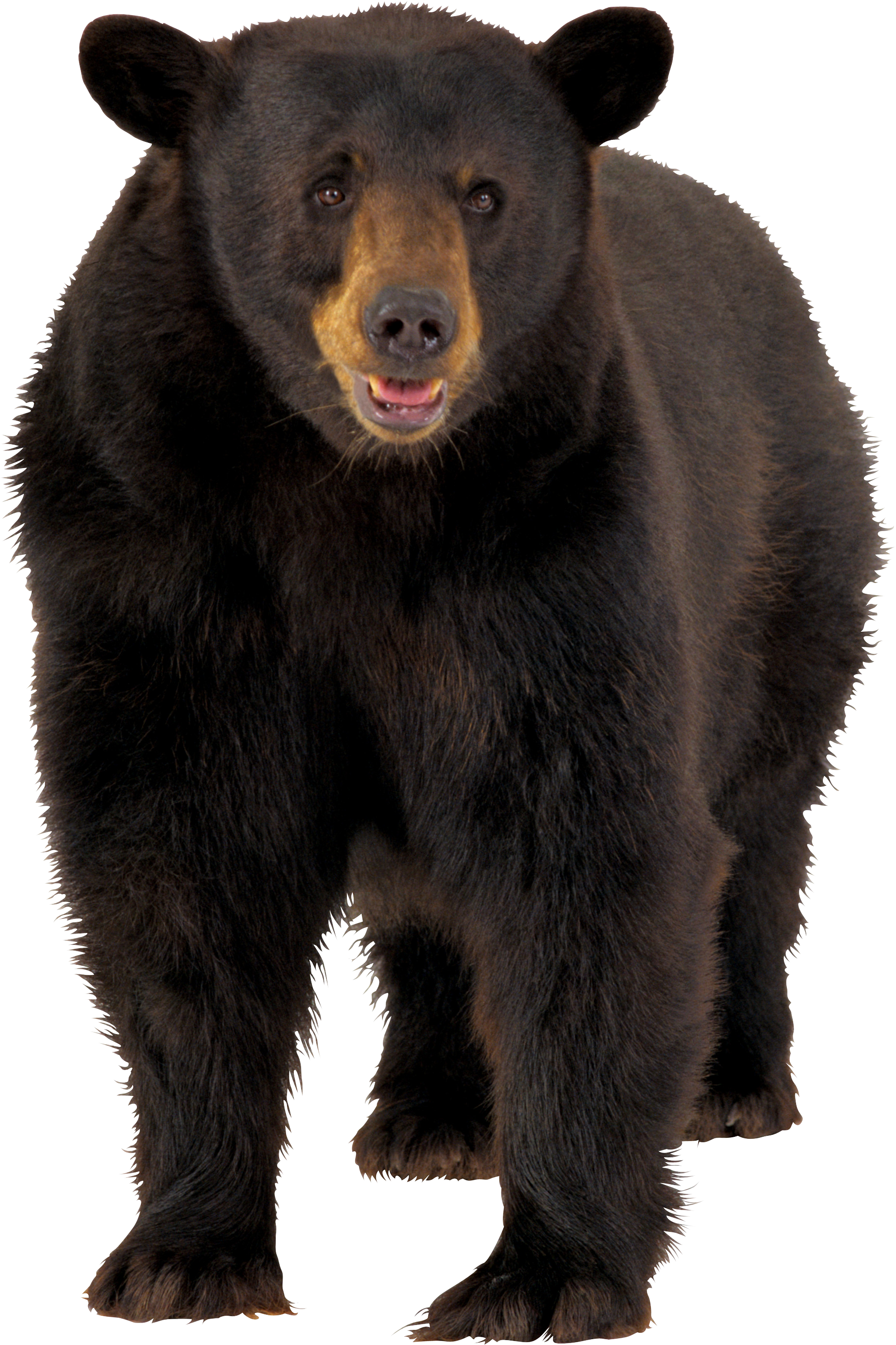 Bear PNG images.