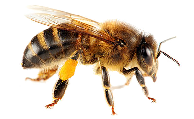 Bee HD PNG Transparent Bee HD.PNG Images..