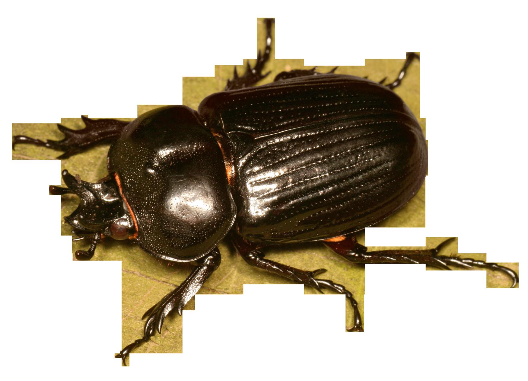 Beetle Bug PNG Image.