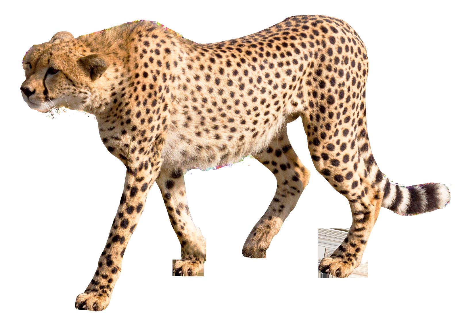 Cheetah PNG Image.
