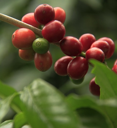PNG Coffee Industry Threatened By Invasive Species.