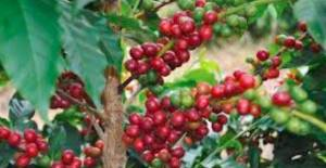 Coffee Industry Corporation proposes new 10.